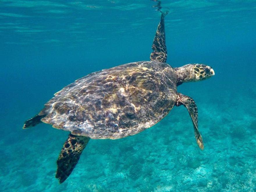 Schwimmende Schildkröte in der Karibik