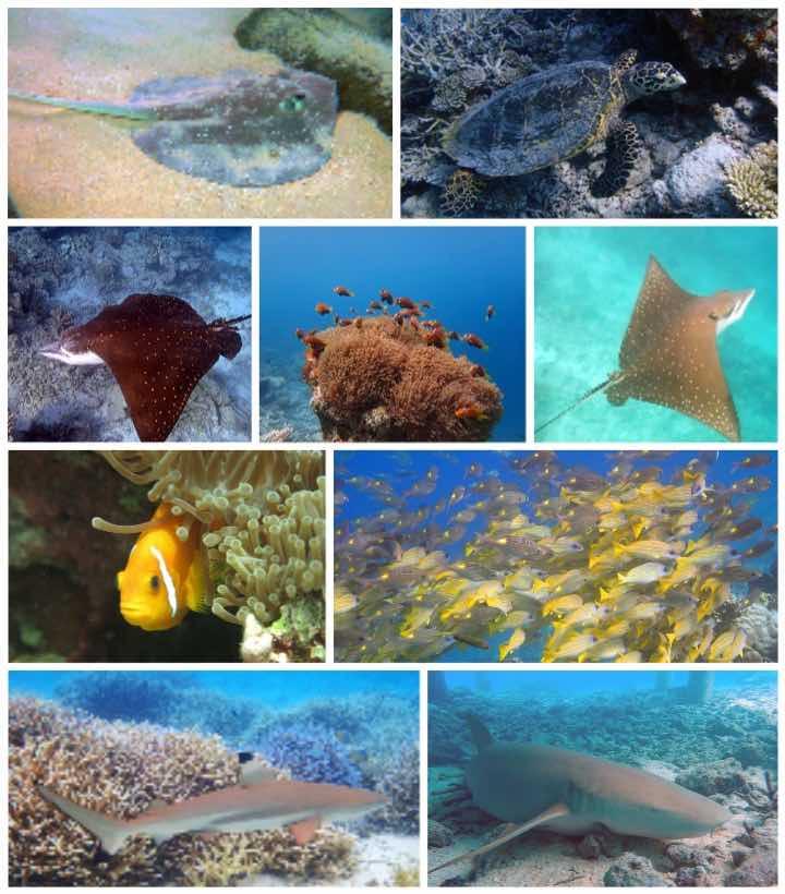 Fische Malediven North Male Atoll